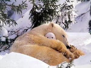 polar_bear_hibernating