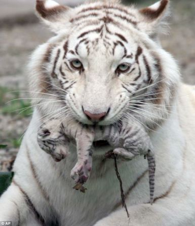 Holding Cub in Mouth